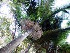 Palmiste de Cunningham, Palmier roi, Archontophoenix cunninghamiana