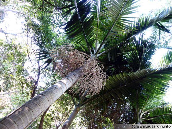 arecaceae ar cac es palmac es palmiers. Black Bedroom Furniture Sets. Home Design Ideas