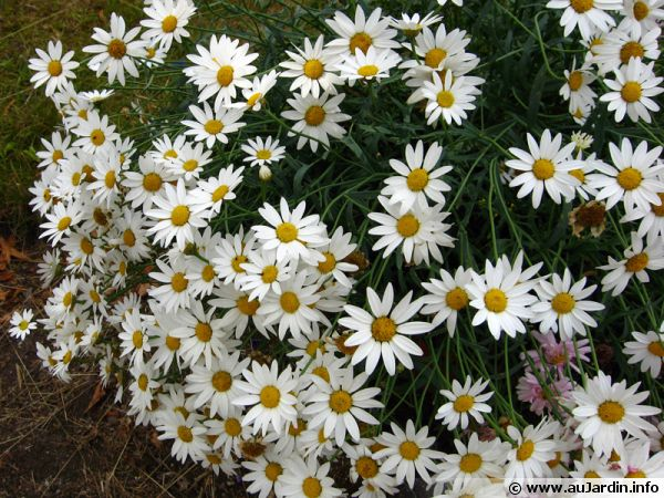 Argyranthemum frutescens 'Maggy White Parachute'