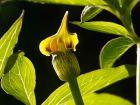Arisème jaune, Lis cobra jaune, Arisaema flavum
