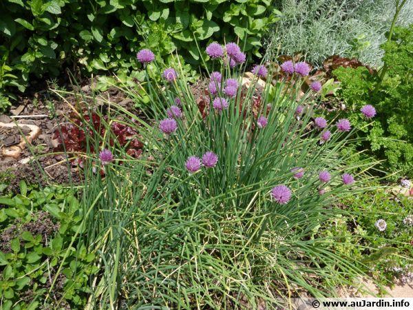 Coin d'aromatiques au jardin, ciboulette, thym, persil, origan, ...