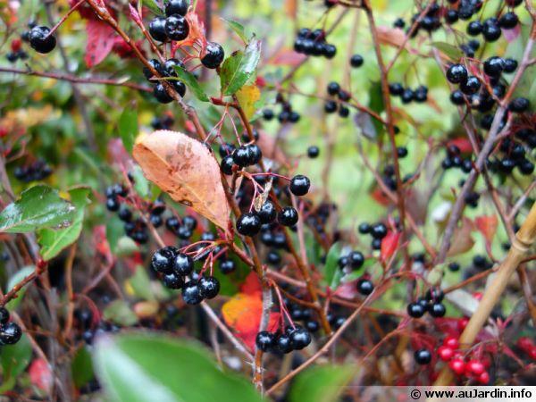 Aronie pourpre, Aronia x prunifolia