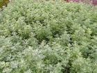 Absinthe, Artemisia absinthium