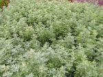 Histoires de plantes; bruyère, joubarbe, camélia et absinthe