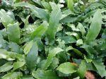 Fougère scolopendre, Langue de cerf, Langue de bœuf, Herbe à la rate, Herbe hépatique, Asplenium scolopendrium