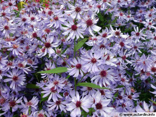 Aster bleu des bois, Aster à feuilles cordées, Aster cordifolius