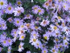 Aster d'automne de Nouvelle-Angleterre, Aster novae-angliae