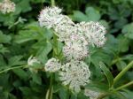 Grande astrance, Grande radiaire, Sanicle de montagne, Astrantia major