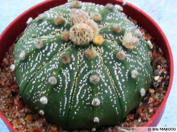 Cactus oursin, Sand dollar, Astrophytum asterias