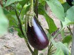 Questions fréquentes sur l'aubergine ?