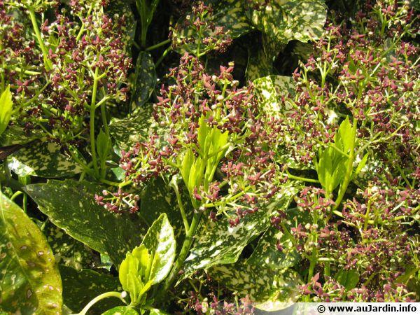 Fleur d'Aucuba japonica