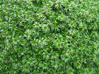 Azorelle, Coussin des Andes, Azorella trifurcata