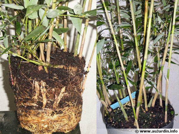 à gauche plante avec de très beaux rhizomes et à droite, la même plante qui est pleine de jeunes turions grâce à sa richesse en rhizomes