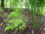 Maîtriser le développement des bambous