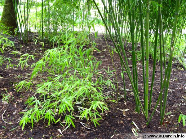 Les bambous ont tendance à l'expansion à cause de leur rhizomes traçants, mais comment les maîtriser