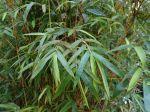 Bambou, Bambusa multiplex 'Alphonse Karr'