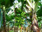 Questions fréquentes sur le bananier