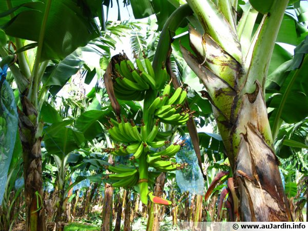 Bananiers en culture en pleine terre dans une région au climat favorable