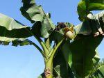 Comment protéger son bananier en hiver ?
