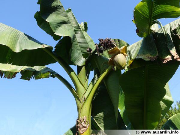 Après deux hivers protégés, un des bananiers fleurit enfin (région parisienne)