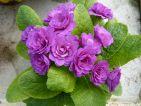 Bon Accord Purple : Une forme double qui est une très vieille variété. La vraie primevère de nos grand-mères