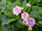 Camaieu : Une primevère double aux belles teintes rosâtres. Une création de chez Barnhaven