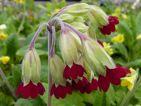 Coronation cowslips : Un hybride du coucou des champs qui existe en rouge, orange et jaune