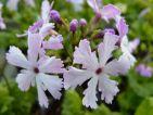 Primula sieboldii: Primula sieboldii 'Dancing ladies' Une primevère de sous-bois qui forme de belles touffes dans le jardin. Existe dans les coloris, blanche, bleu et rose avec beaucoup de formes très variées