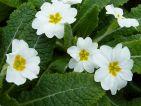 Harbinger : De la forme acaulis (une fleur sur une tige). C'est la forme blanche de nos primevères des champs
