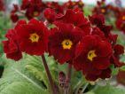 Little Egypte. Primevère polyanthus. Une gamme de graines de chez Barnhaven au couleurs rouge brique de l'Egypte
