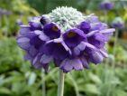 Primula capitata : Une variété remarquable qui a une floraison très tardive. Souvent en fleur au mois de septembre !