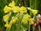 Primula florindae : Une floraison très tardive, souvent au mois d'août pour cette primevère très parfumée