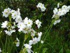 Primula involucrata : une primevère très parfumée qui aime les coins humides. Floraison assez tardive en mai-juin