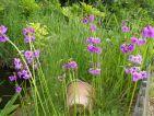 Primula wilsonii : De couleur pourpre avec un œil jaune vif. Cette primevère à étage aime les endroits bien humides au bord d'un bassin ou ruisseau. Contrairement à beaucoup d'autres variétés de candélabres, il ne perd pas ses feuilles en hiver. Hauteur : jusqu'à 90cm. Floraison: Mai-Juin