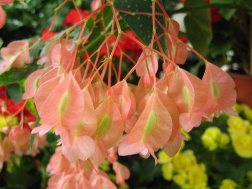 Tamaya b gonia bambou begonia maculata conseils de culture - Begonia d interieur arrosage ...