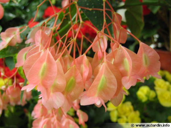 Fleurs du Bégonia bambou
