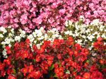 Bégonia annuel, Begonia semperflorens