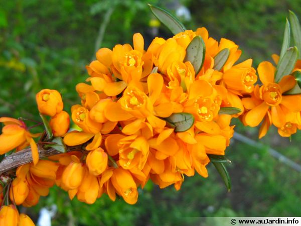 Epine vinette à feuilles linéaires, Berberis linearifolia