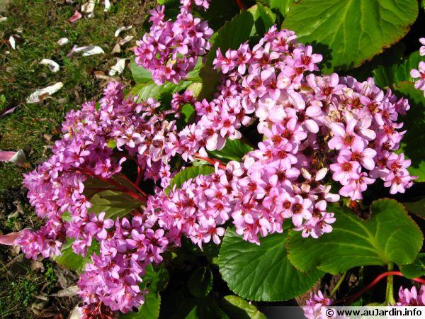 Les bergenias fleurissent dès la fin de l'hiver et sont très rustiques