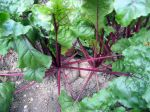 Betterave rouge, Beta vulgaris var. rubra