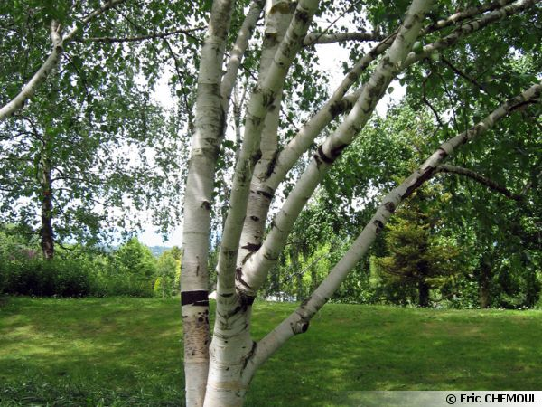betula utilis bouleau de l 39 himalaya planter cultiver multiplier. Black Bedroom Furniture Sets. Home Design Ideas