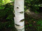 Bouleau blanc de l'Himalaya, Betula utilis var. jacquemontii