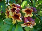 Bignone à vrilles, Bignone orangée, Trompette de Virginie, Bignonia capreolata
