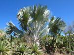 Palmier de Bismarck, Bismarckia nobilis