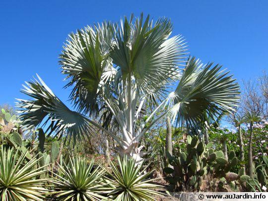 Palmier de bismarck bismarckia nobilis - Type de palmier ...