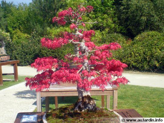 Coupe d 39 un bonsai - Comment faire un bonsai ...