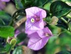 Bougainvillier 'Lavender'