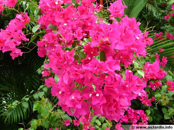 Le bougainvillier, fleurs ou bractées ?