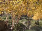 Le bouleau, un arbre élégant et apprécié