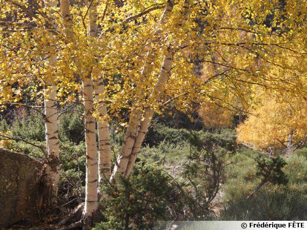 Le bouleau, un arbre élégant et apprécié qui accompagne l'homme depuis la préhistoire
